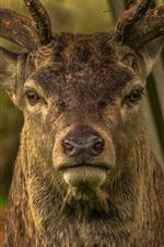 Preview iPhone wallpaper Deer front view, nose, horn, head