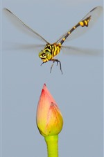 Preview iPhone wallpaper Dragonfly and lotus bud