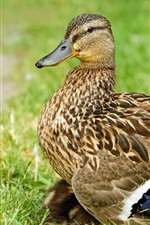 Preview iPhone wallpaper Duck, gray feather, grass
