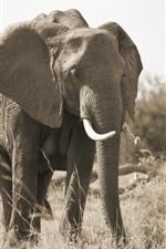 Elephant, family, tusk, grass