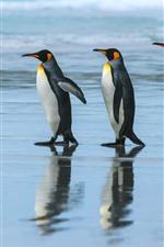 Pinguim-imperador, equipe, caminhada, mar