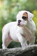 iPhone fondos de pantalla Bulldog inglés, perro blanco