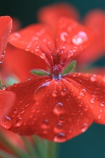 Preview iPhone wallpaper Geranium, red flowers, water droplets