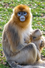 Preview iPhone wallpaper Golden Monkey mother and baby