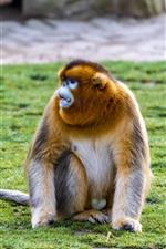 Preview iPhone wallpaper Golden monkey, grass, ground
