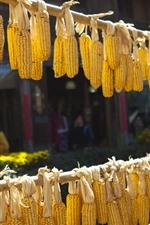Grão de milho