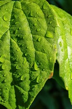 Green leaves, water droplets, plants