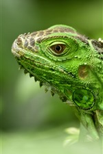 Preview iPhone wallpaper Green lizard, iguana, head, hazy