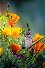 Preview iPhone wallpaper Hummingbird, orange poppies