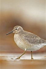 Preview iPhone wallpaper Icelandic Sandpiper, bird, beak, walk