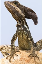 Preview iPhone wallpaper Jesus Christ Lizard, Basiliscus