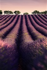 iPhone壁紙のプレビュー ラベンダー畑、花