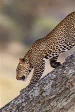 Preview iPhone wallpaper Leopard walk down