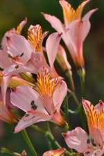 Preview iPhone wallpaper Lilies, alstroemeria, pink flowers