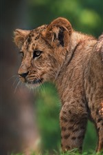 Preview iPhone wallpaper Lion cub look back, tail