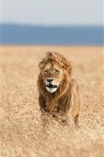 Preview iPhone wallpaper Lion, savanna, grass