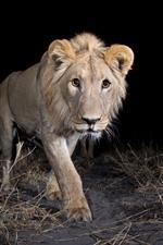Lion walking at night