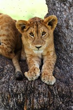 Preview iPhone wallpaper Lioness, tree, rest, look