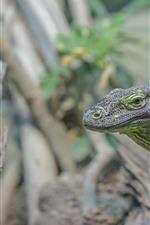 Lizard, green, head, eyes