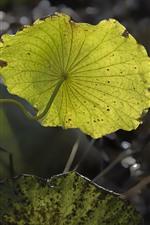 Preview iPhone wallpaper Lotus green leaves, stem