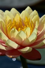 Preview iPhone wallpaper Lotus, petals, flower