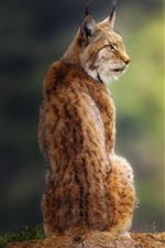 Preview iPhone wallpaper Lynx look back, sit