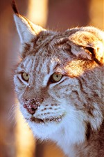 Preview iPhone wallpaper Lynx look, snow, sunshine