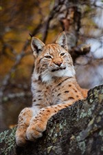 Preview iPhone wallpaper Lynx rest, nature, wildcat