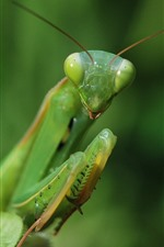 Preview iPhone wallpaper Mantis, green insect