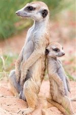 Preview iPhone wallpaper Meerkats, family, wildlife