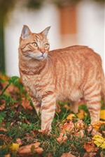 Preview iPhone wallpaper Orange cat, dry leaves, grass