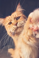 Orange cat, paw, furry