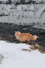 Orange cat, snow, winter