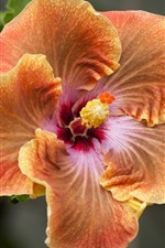 Preview iPhone wallpaper Orange hibiscus flower close-up