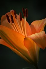 Preview iPhone wallpaper Orange lily flower, petals, black background