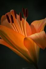 미리보기 iPhone 배경 화면 오렌지 백합 꽃, 꽃잎, 검정색 배경