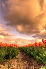 Preview iPhone wallpaper Orange tulips, flowers field, clouds, dusk
