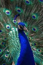 iPhone壁紙のプレビュー ピーコックオープンテール、美しい羽、鳥