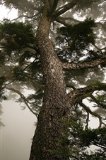 Preview iPhone wallpaper Pine trees, trunk, fog, morning