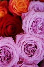 Preview iPhone wallpaper Pink and red roses, flowers close-up