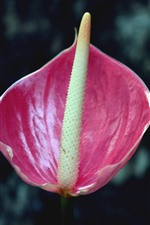 Preview iPhone wallpaper Pink anthurium flower