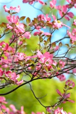 Pink flowers bloom, twigs, spring