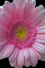 Preview iPhone wallpaper Pink gerbera, black background