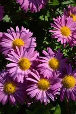 Preview iPhone wallpaper Pink gerbera flowers, petals, sunshine