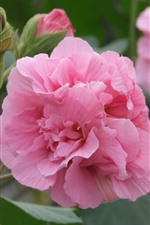 Preview iPhone wallpaper Pink hibiscus flowers, petals