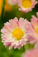 Preview iPhone wallpaper Pink petals daisy, spring