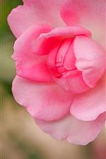 Pink rose close-up, petals, hazy