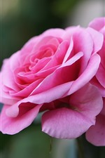 Preview iPhone wallpaper Pink rose macro photography, petals, hazy