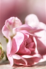 Preview iPhone wallpaper Pink roses, flower bud, bright