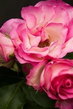 Pink roses, flowers, petals, hazy